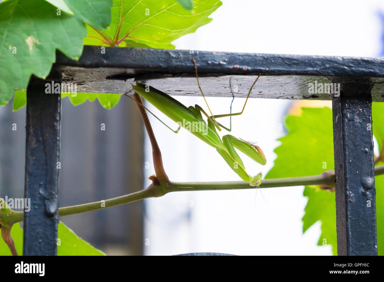 Praying Mantis Mantis religiosa close up Stock Photo