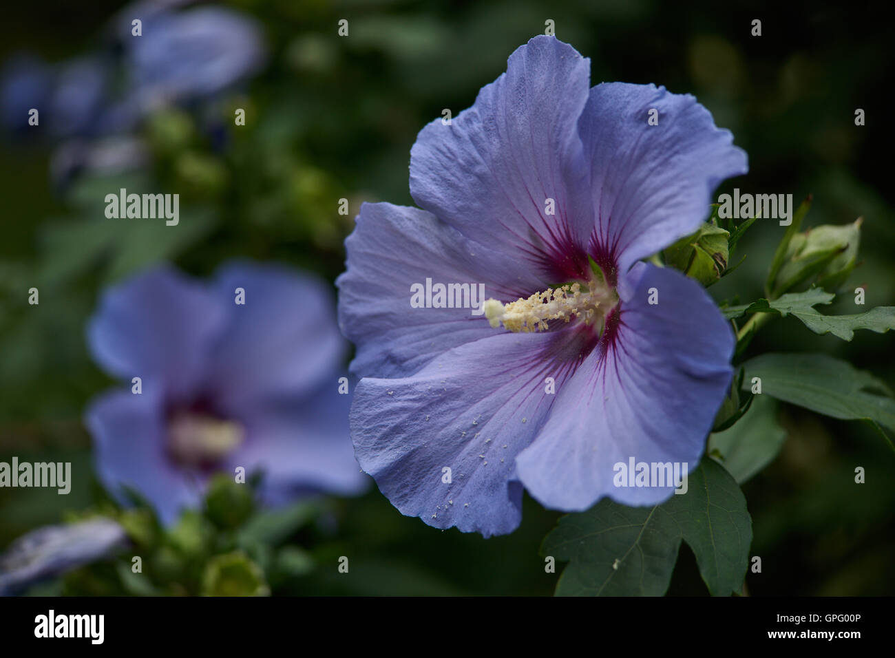 Light Violet Hibiscus Flower Close Up Stock Photos Light Violet