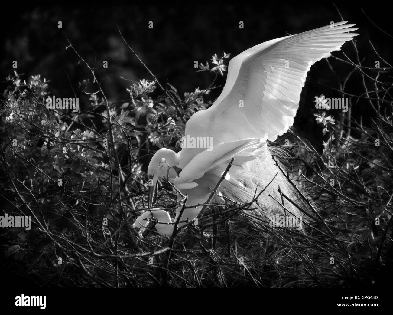 A pair of White Egrets look lovely 'doin' the wild thing' in this intimate BW view!  A blue egg will - Stock Image