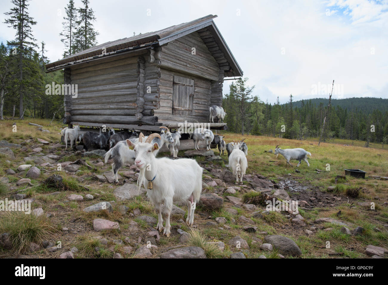 Goats grazing at a mountain farm Vardsätern in Dalarna, Sweden - Stock Image