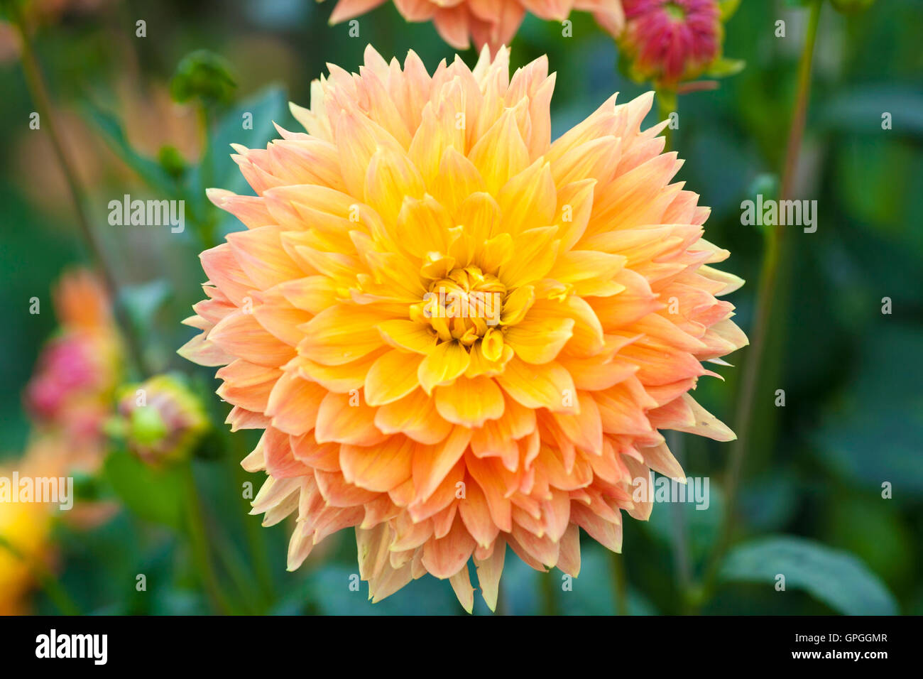 Dahlia orange and yellow flowers full bloom closeup stock photo dahlia orange and yellow flowers full bloom closeup mightylinksfo