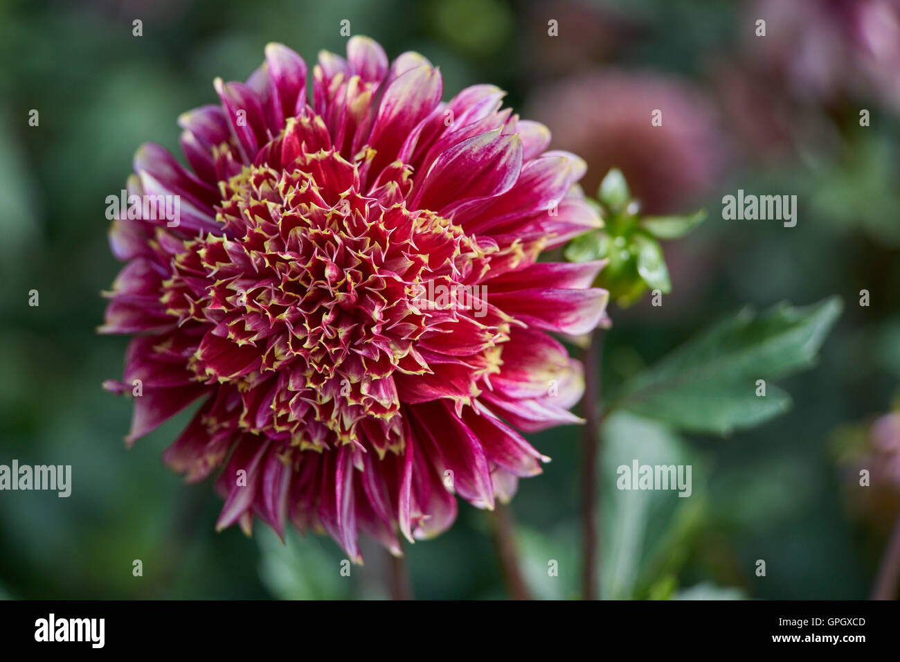 Red dahlia with white petals tips stock photo 117156605 alamy red dahlia with white petals tips mightylinksfo