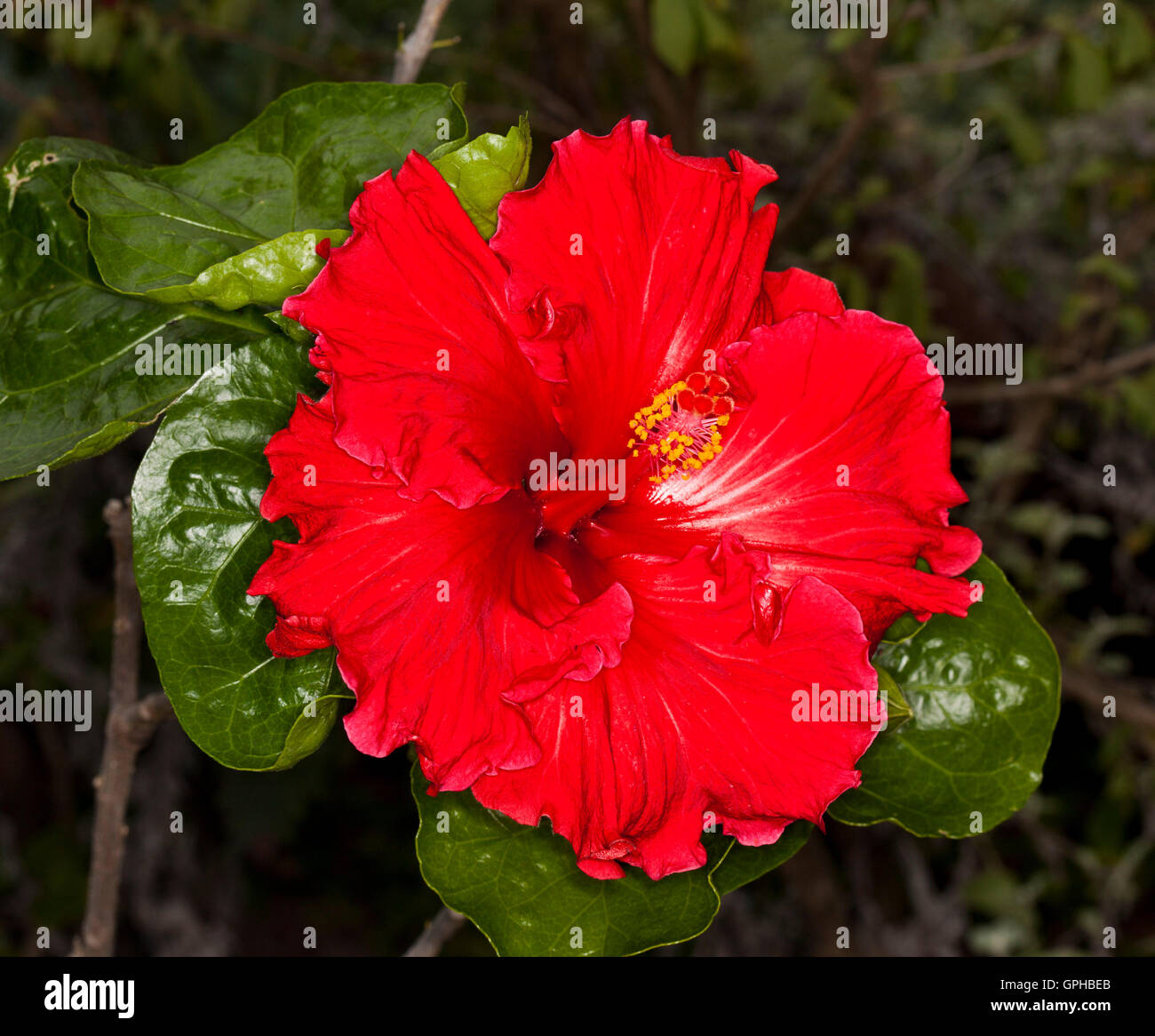 Spectacular Vivid Red Flower With Frilly Petals Of Hibiscus Rosa