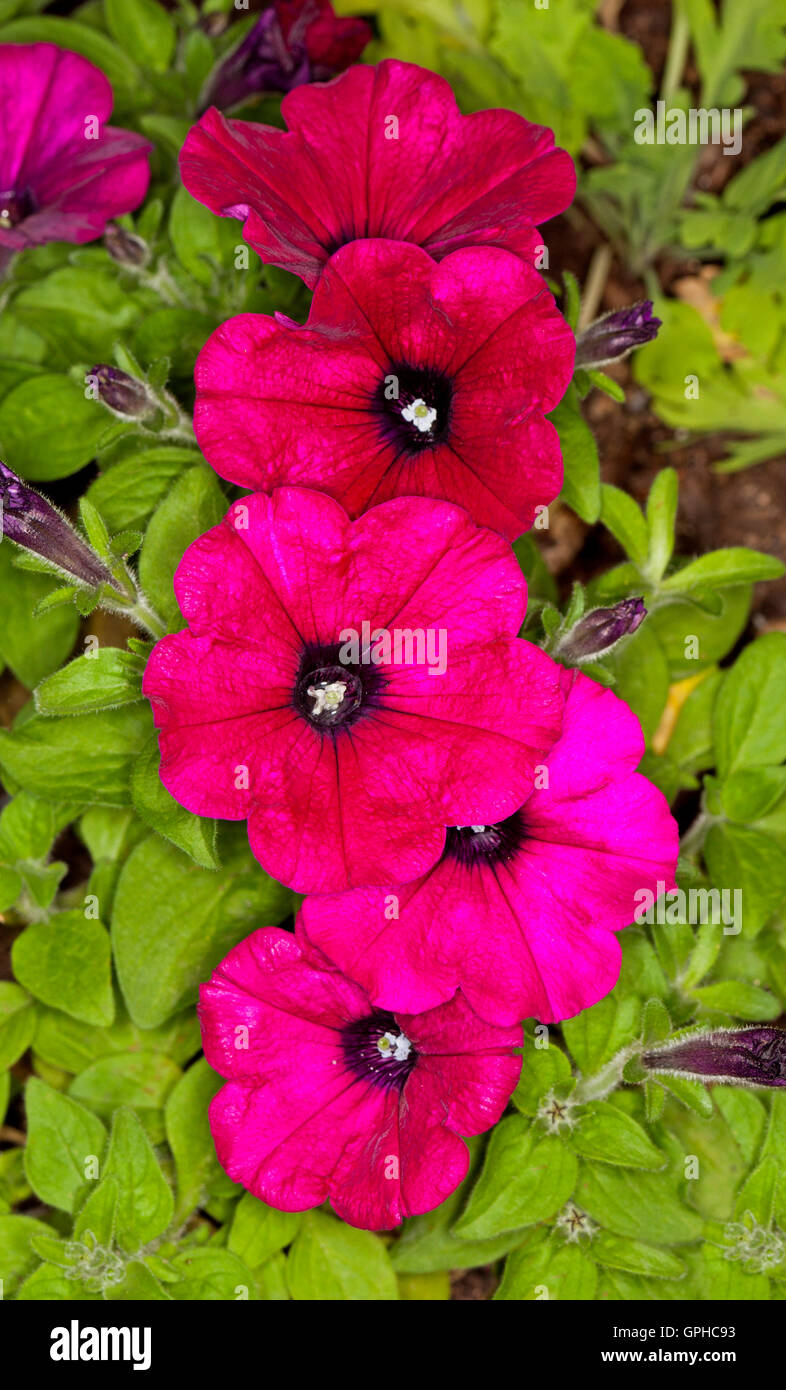 Cluster of vivid red magenta flowers of petunias stunning spring cluster of vivid red magenta flowers of petunias stunning spring flowering annuals on background of bright green leaves izmirmasajfo