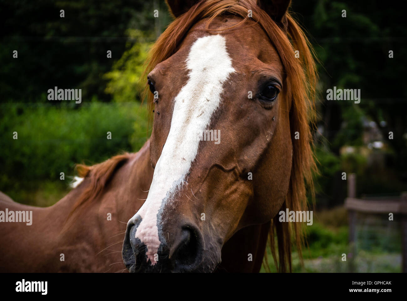 A bay horse stares back at the camera - Stock Image