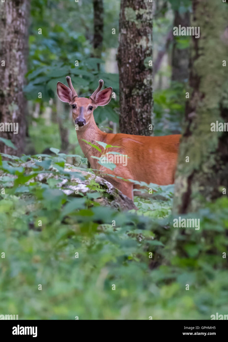 Young Buck In the Woods standing at attention - Stock Image