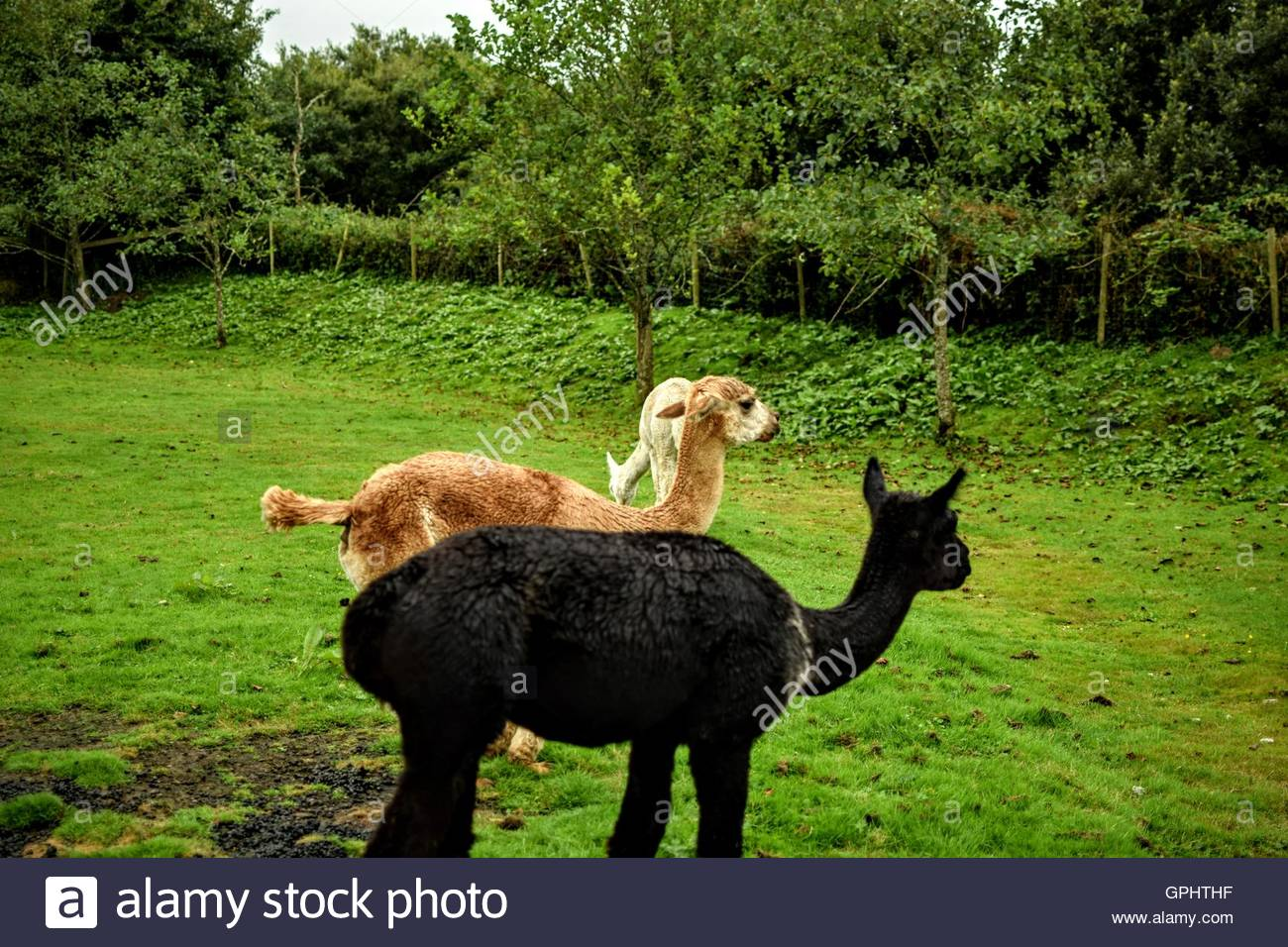 Three Alpacas looking away at something interesting - Stock Image