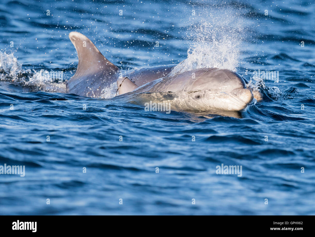 A Young Bottlenose Dolphin (Tursiops truncatus) and it's Mother staying close in the Moray Firth, Scotland - Stock Image