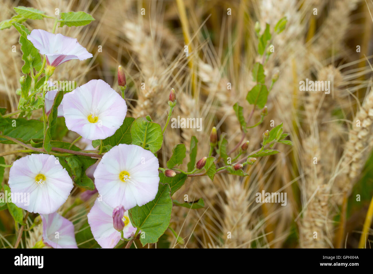 Field bindweed in wheat field - Stock Image