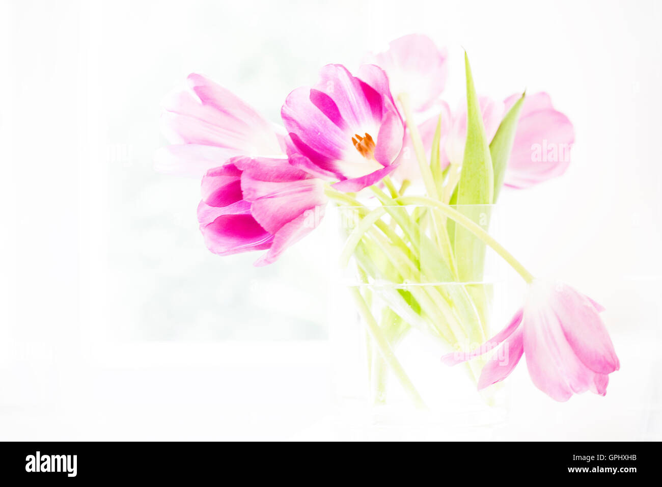 An arrangement of bright, pink tulips in a clear glass vase set against a white background. - Stock Image