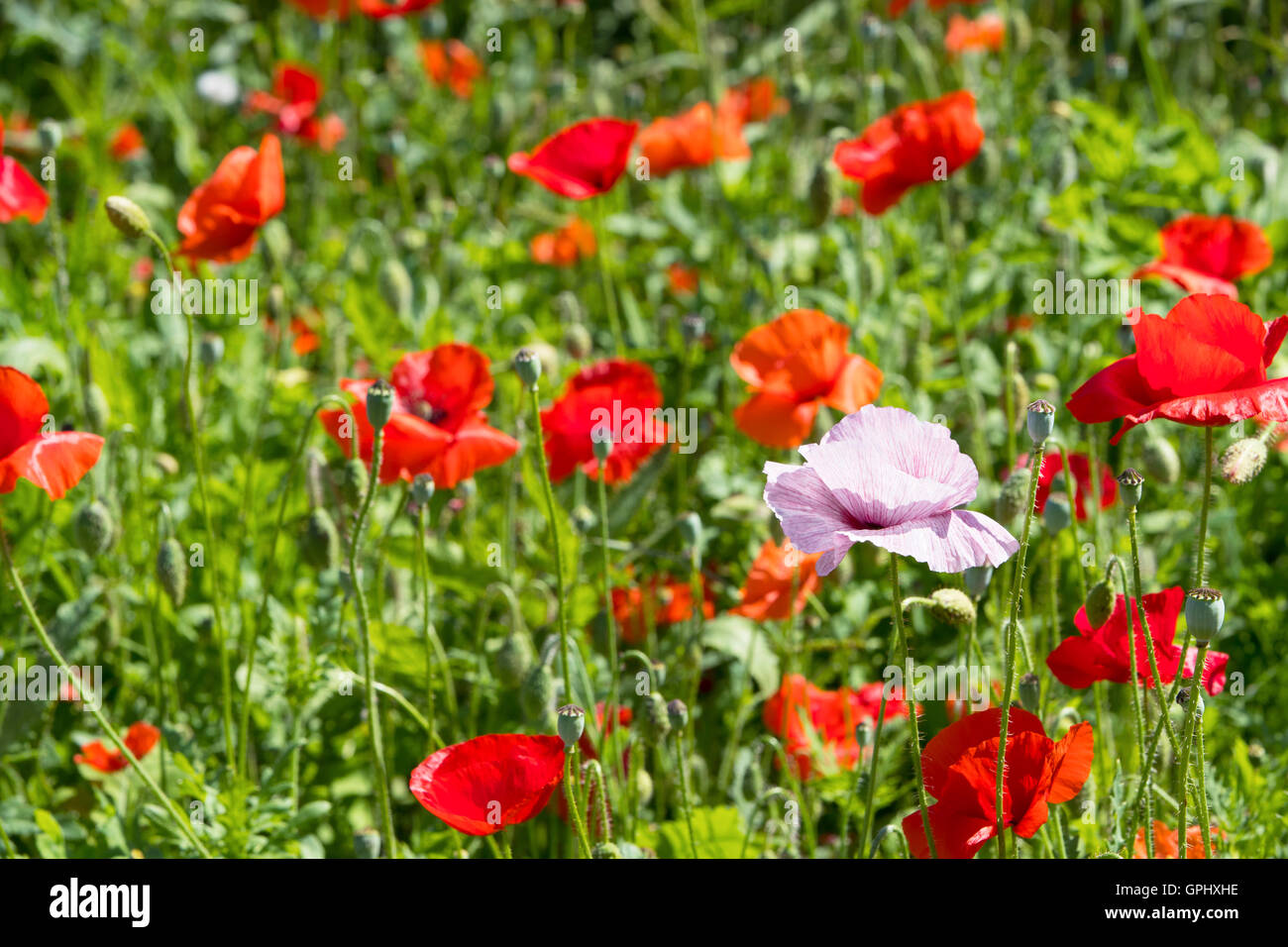 In flanders fields full of red poppies the symbol of world war i in flanders fields full of red poppies the symbol of world war i and the poem of john mcrae a canadien poet physician and soldier mightylinksfo
