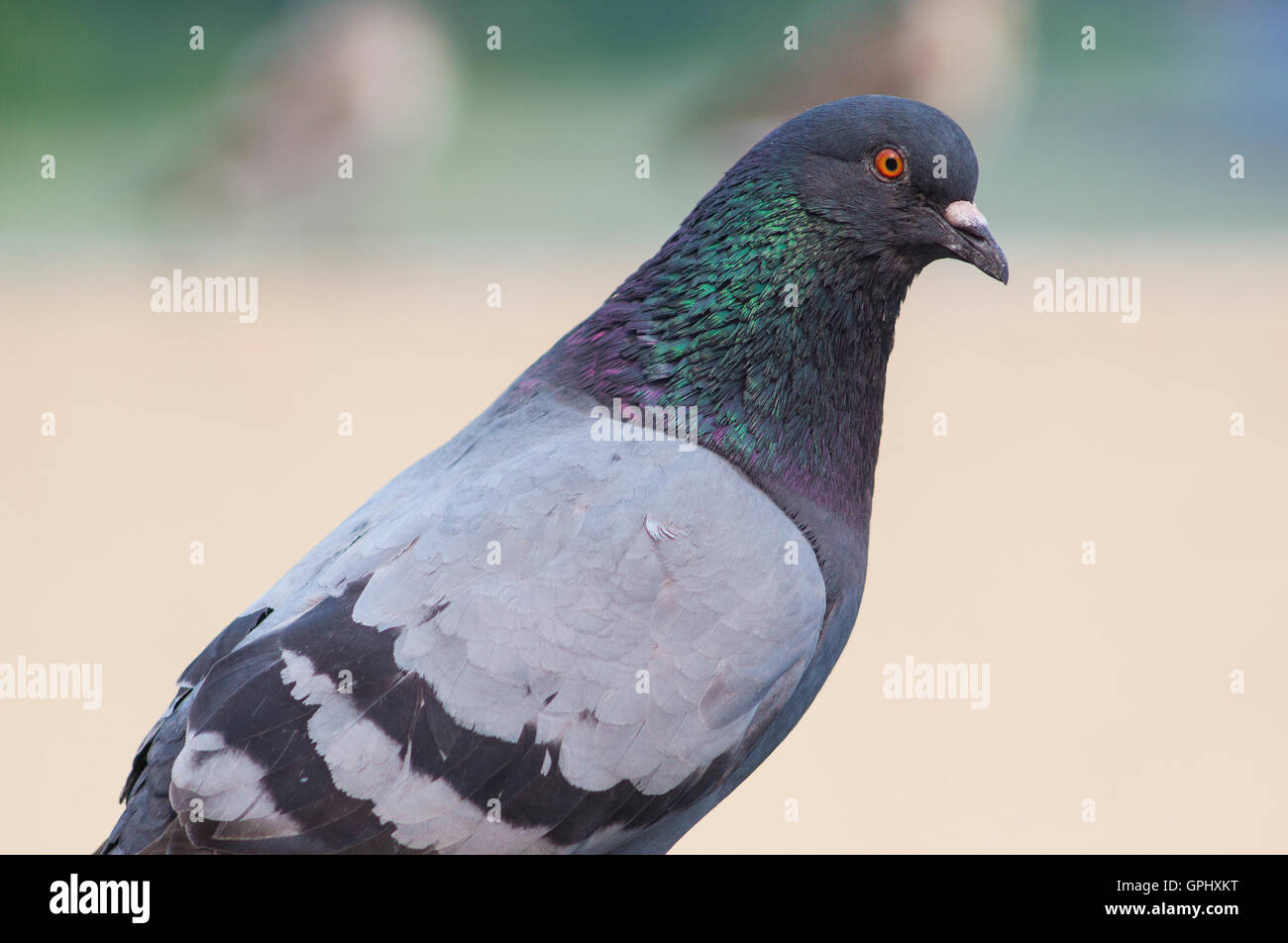 A portrait of a pigeon with beautiful hackle feathers. - Stock Image