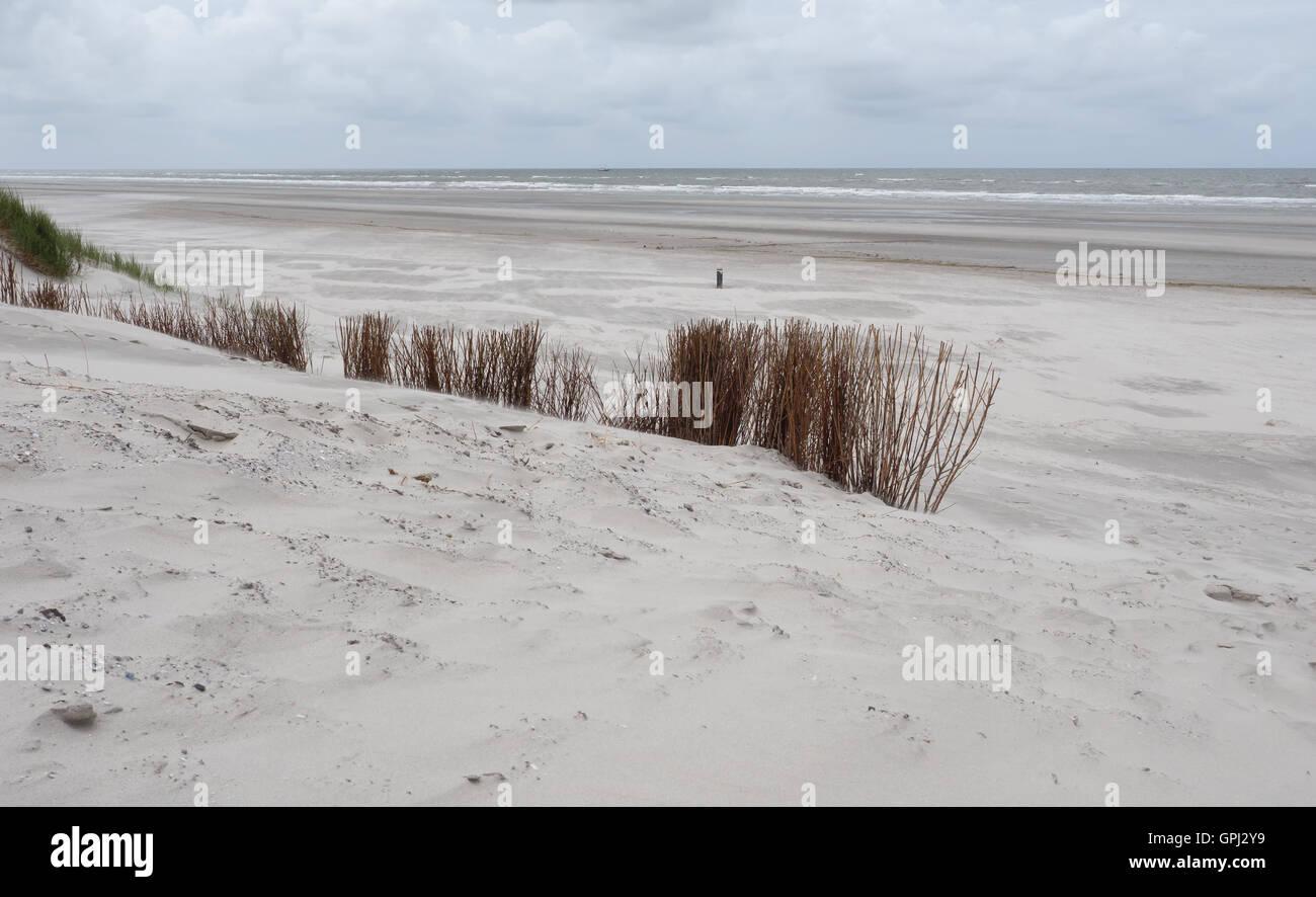 Marram grasses in dunes on Ameland - Stock Image