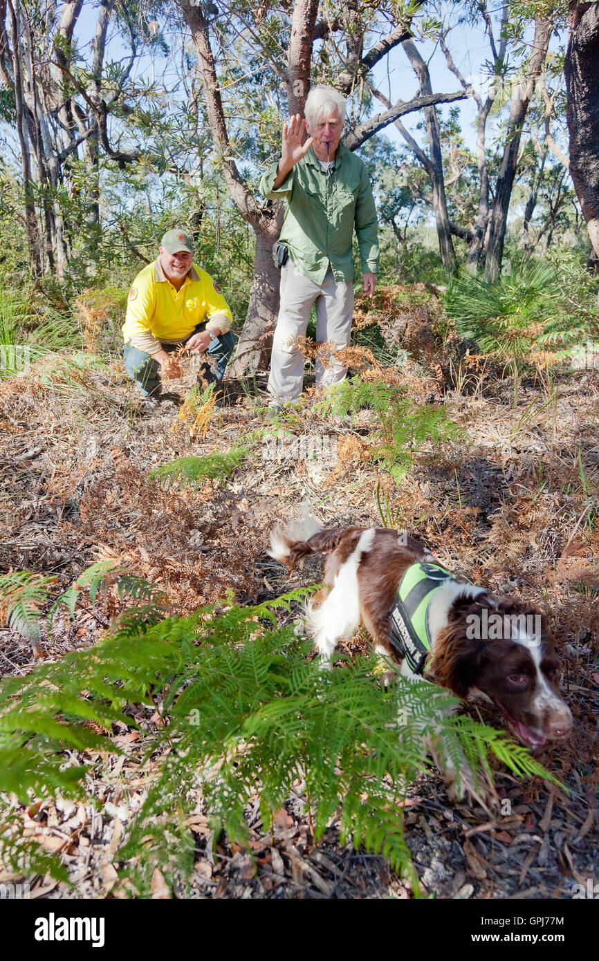 Dog trainer, Steve Austin and NSW Parks & Wildlife Ranger, Russell Wall with feral animal detection dog, Bolt. - Stock Image