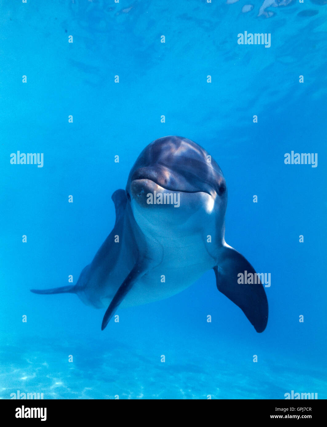 Bottlenose dolphin, Tursiops truncatus. Dolphinarium, Spain - Stock Image