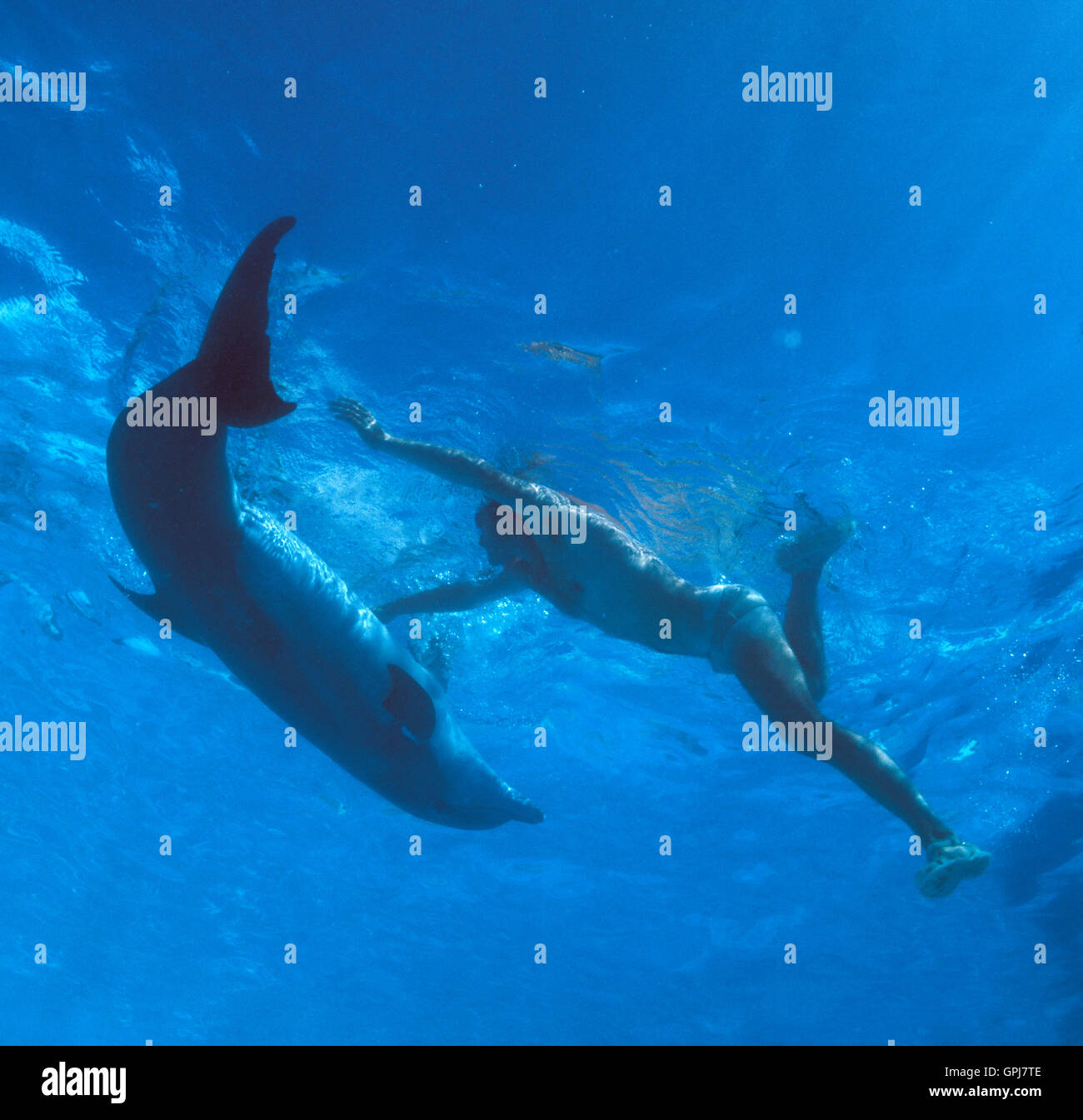 Bottlenose dolphin, Tursiops truncatus. Playing with men at the surface. Dolphinarium, Spain - Stock Image