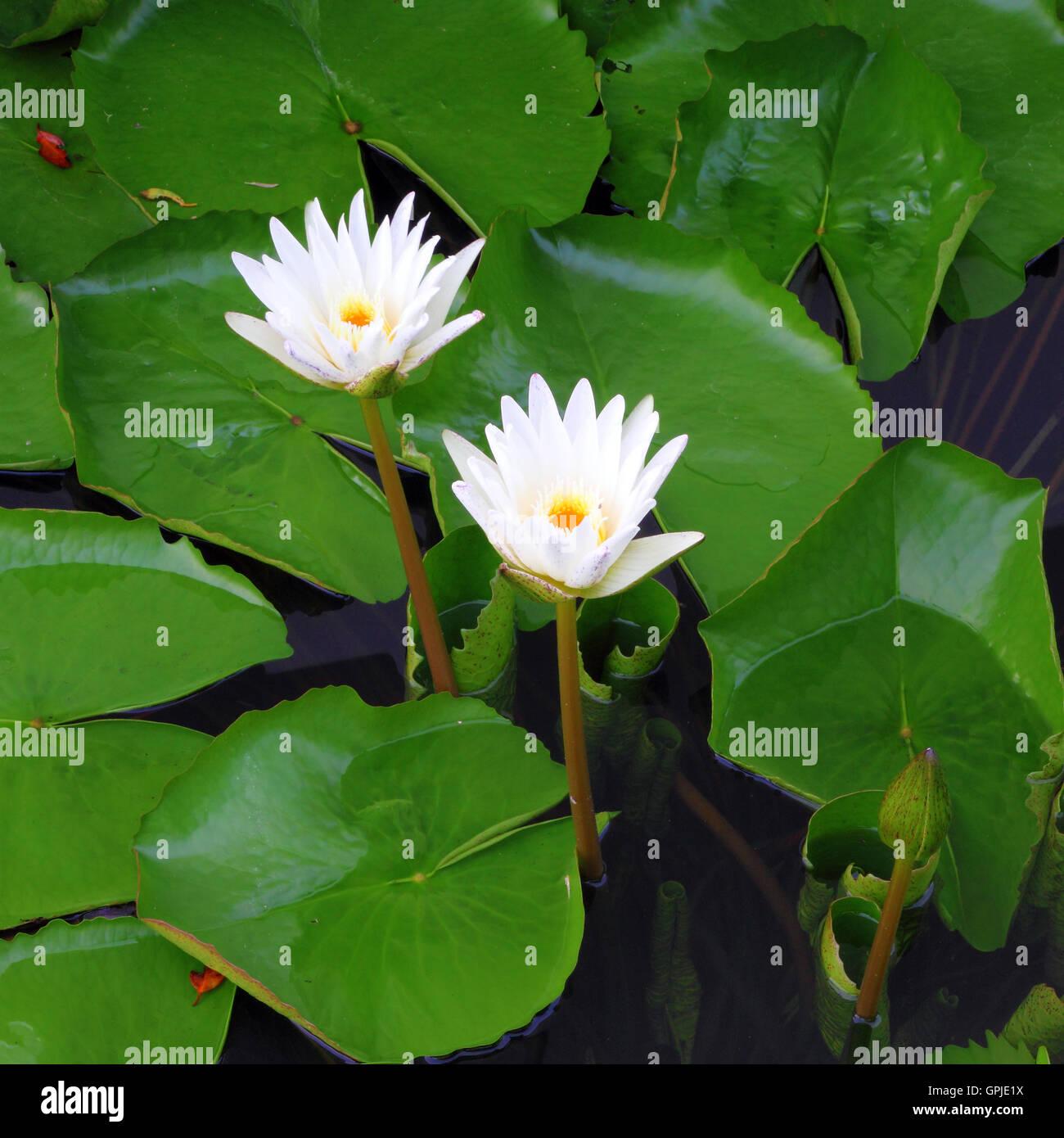 Two white lotus flower stock photo 117190806 alamy two white lotus flower izmirmasajfo