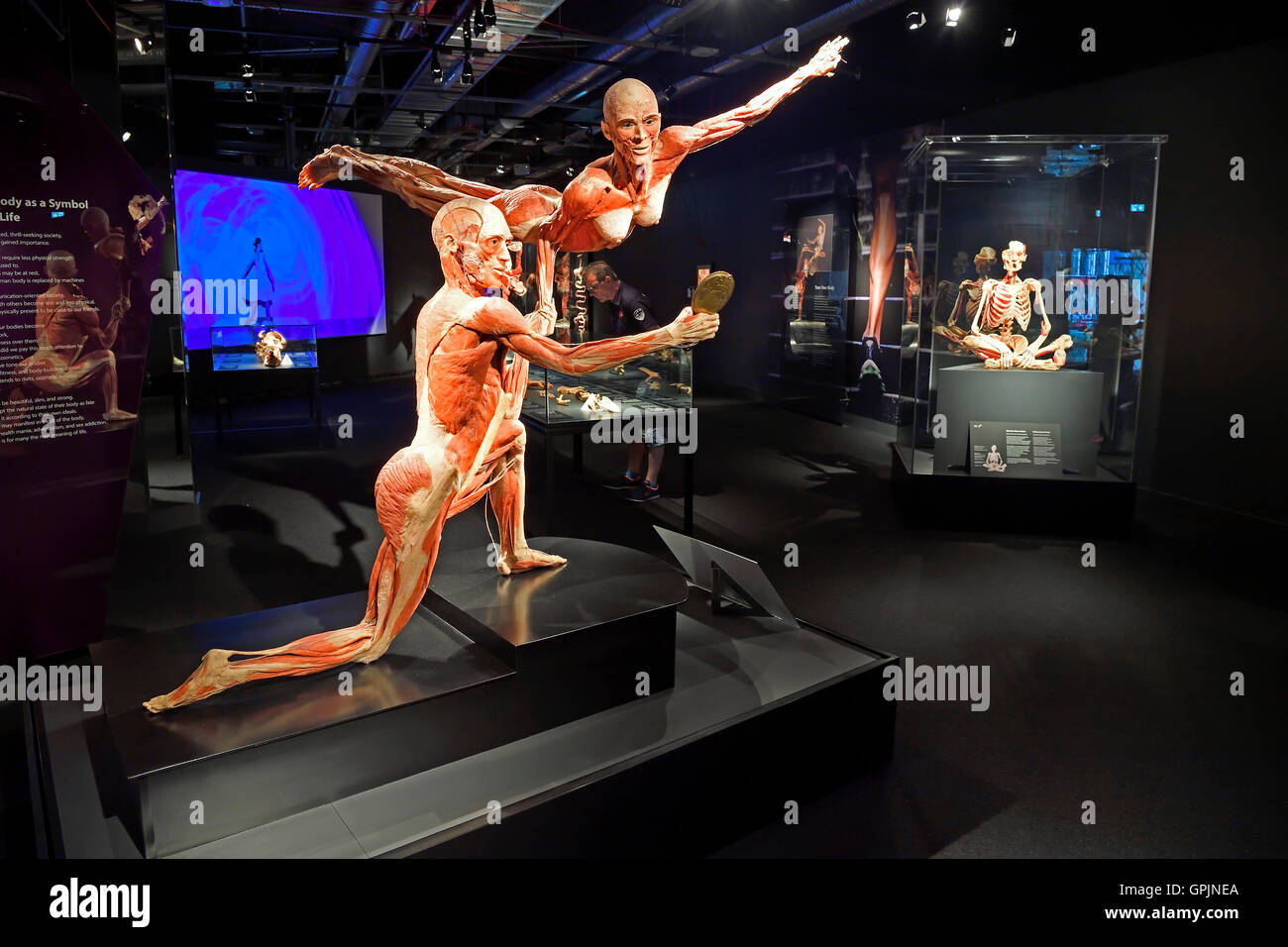 Showroom with human body plastinates, Body Worlds, Menschen Museum, Berlin, Germany - Stock Image