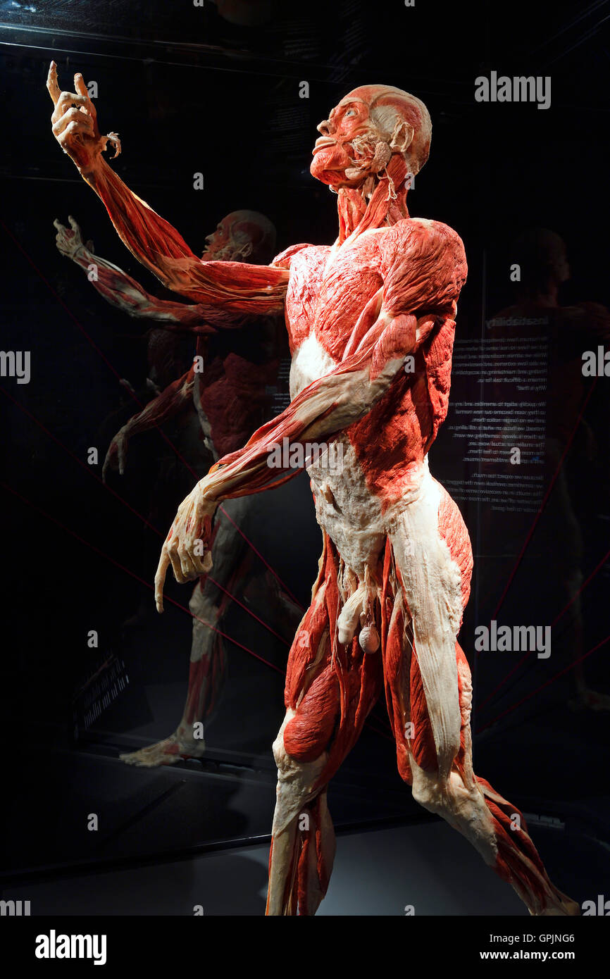 Plastinate, male human body, Body Worlds, Menschen Museum, Berlin, Germany - Stock Image