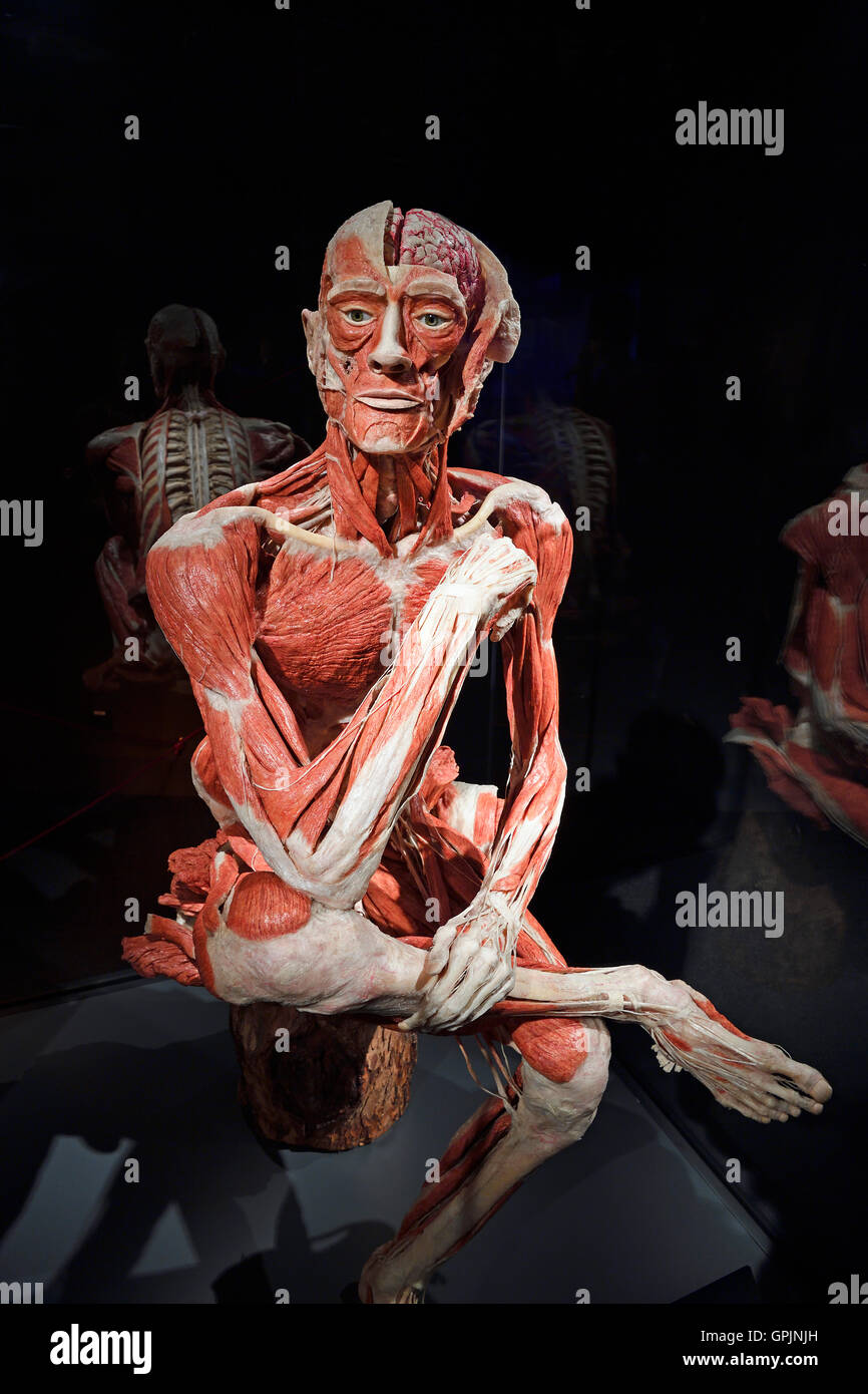 Plastinate, human body, man sitting, Body Worlds, Menschen Museum, Berlin, Germany - Stock Image