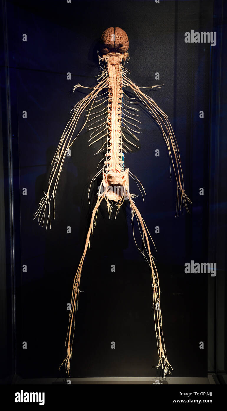 Plastinate, human body, nervous system, Body Worlds, Menschen Museum, Berlin, Germany - Stock Image