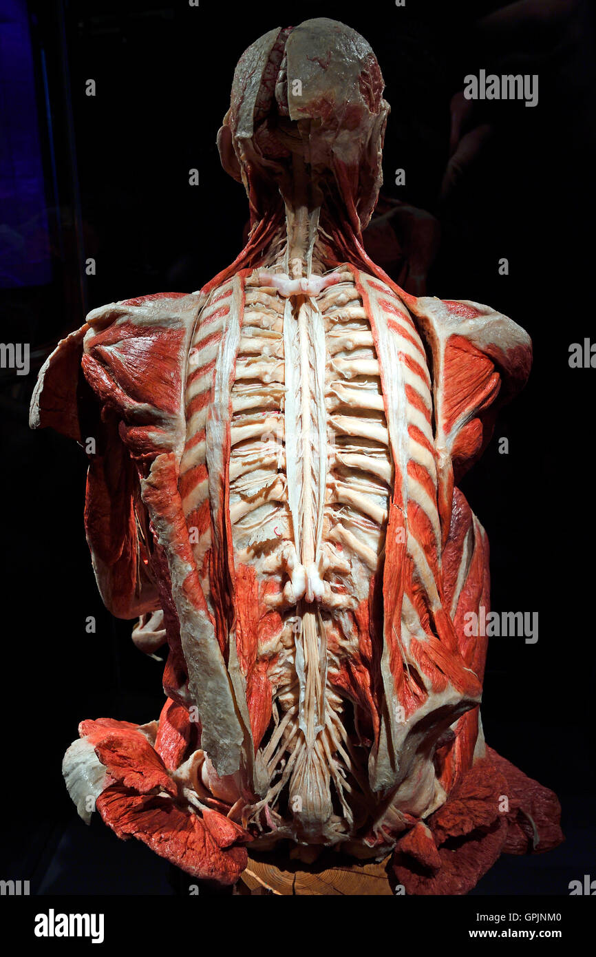 Plastinate, human back, spinal cord and nervous system, Body Worlds, Menschen Museum, Berlin, Germany - Stock Image