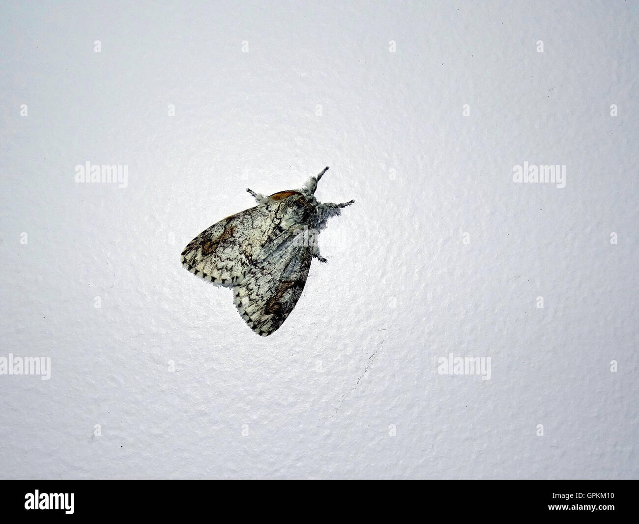 Brown Moth on a Plain Background - Stock Image