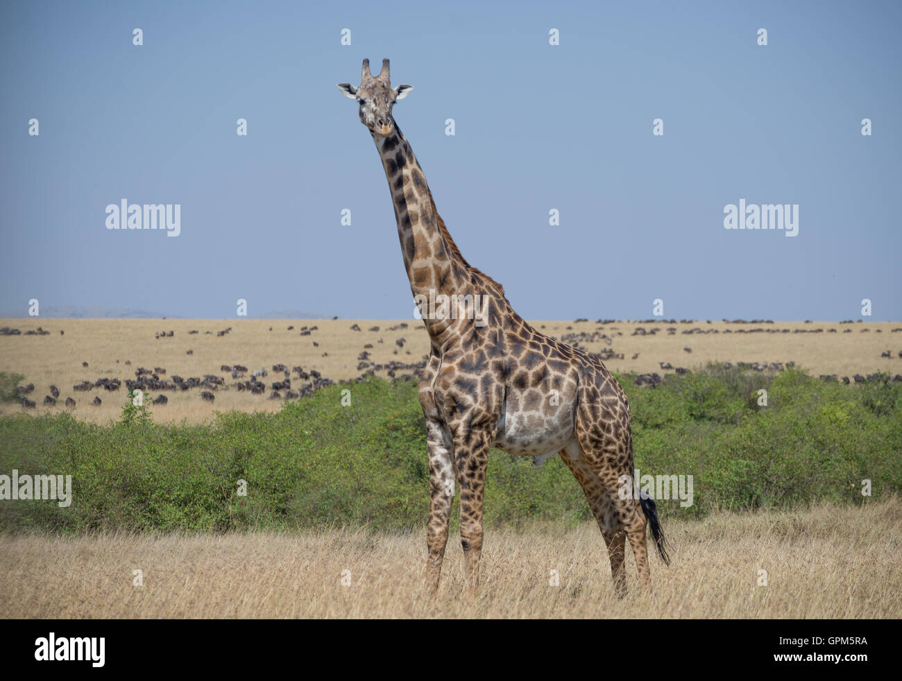 Giraffes in Masai Mara National Reserve in Kenya , Africa Stock Photo