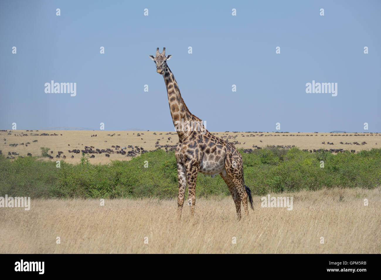 Giraffes in Masai Mara National Reserve in Kenya , Africa - Stock Image