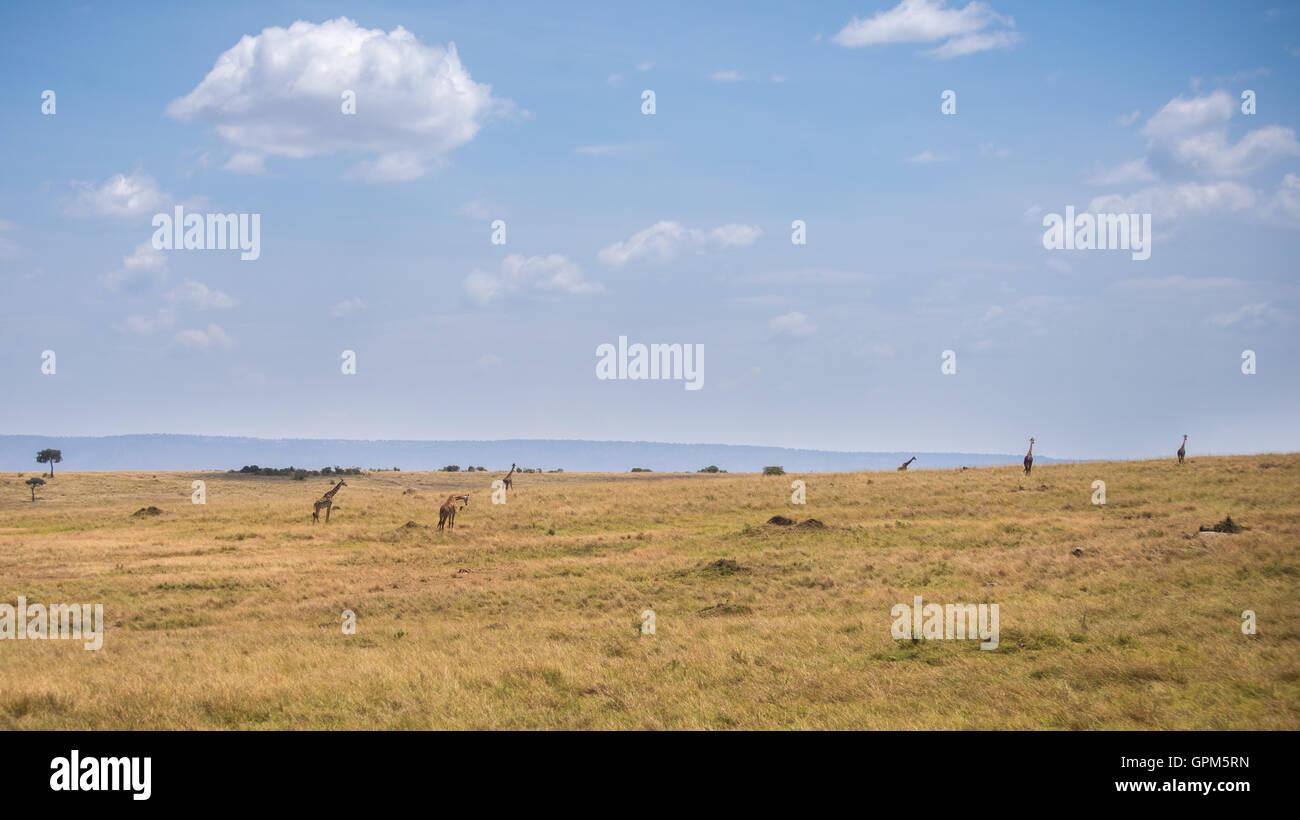 Giraffes in Masai Mara National Reserve in Kenya , Africa - Stock Image
