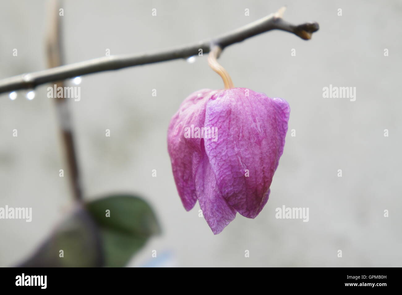 Wilt Droop High Resolution Stock Photography And Images Alamy