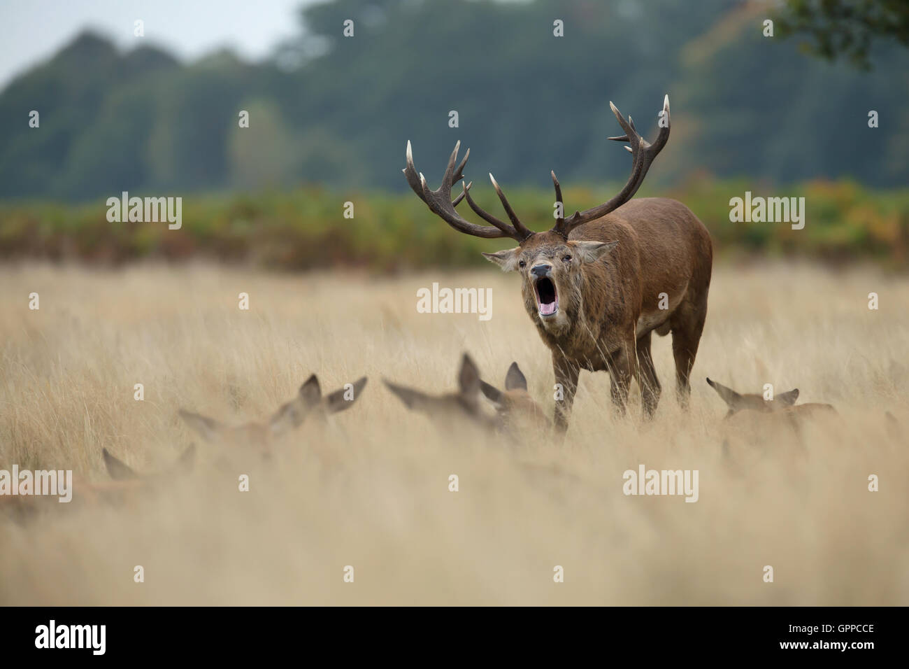 Red deer stag roaring near the hinds during the rut - Stock Image