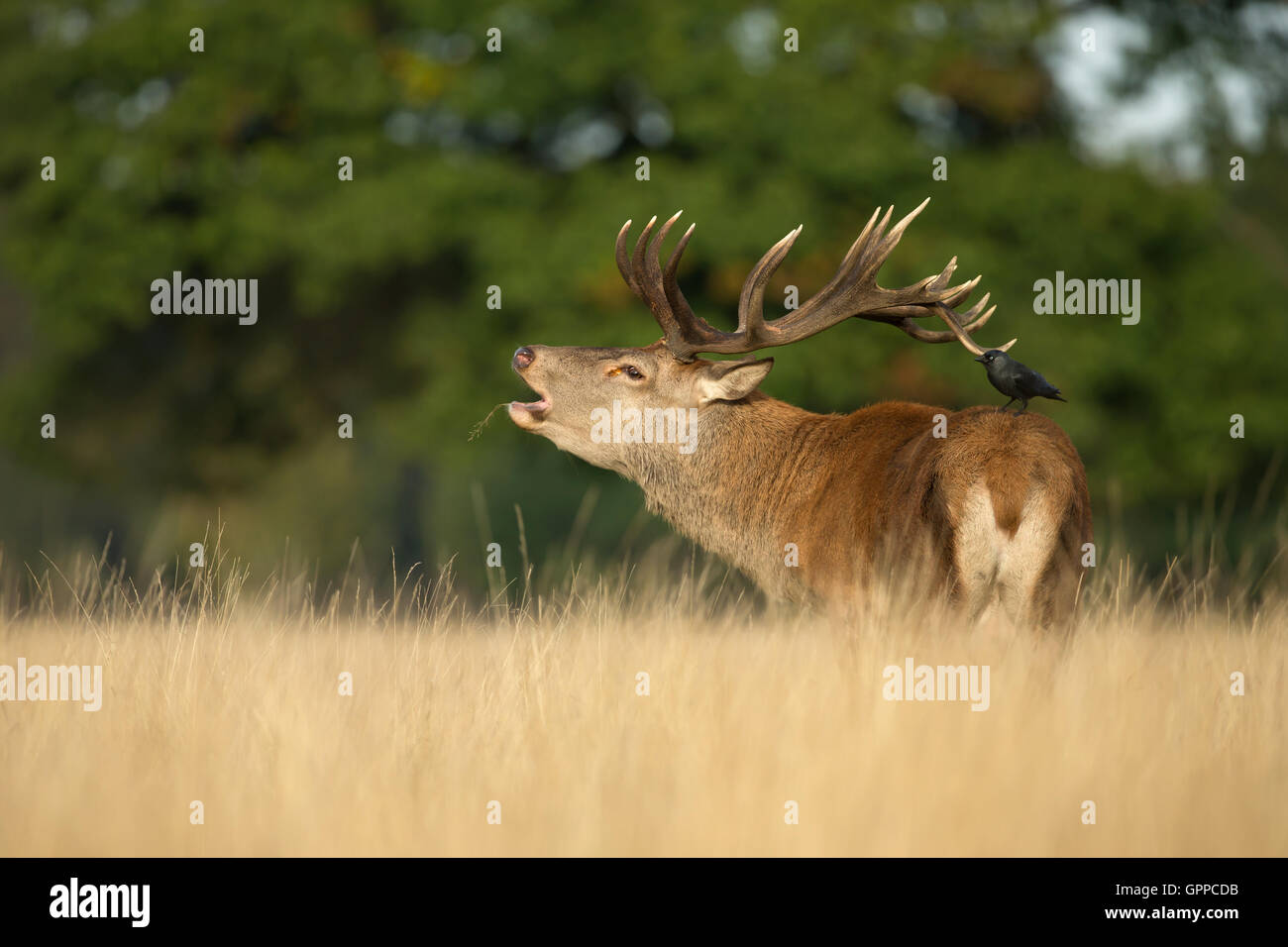 Red deer stag roaring with a Jackdaw on his back - Stock Image