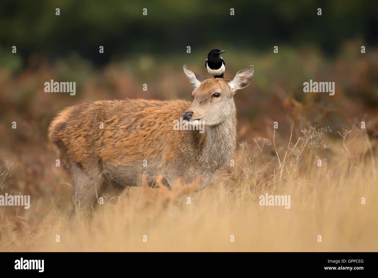 Red deer hind with a magpie on her head Stock Photo