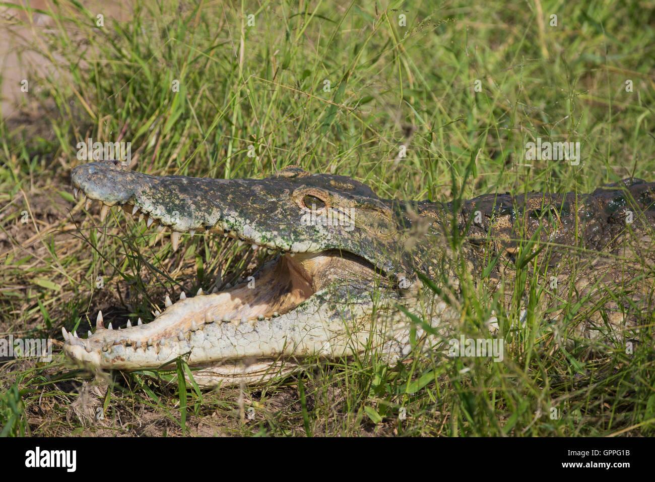 Portrait of Nile Crocodile (Crocodylus niloticus) basking Stock Photo