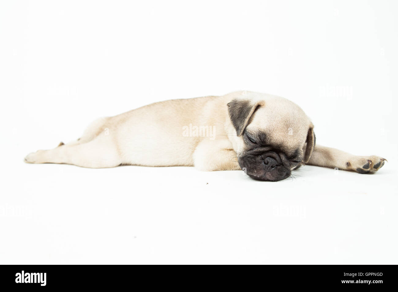 A cute pug puppy sleeping on white background - Stock Image
