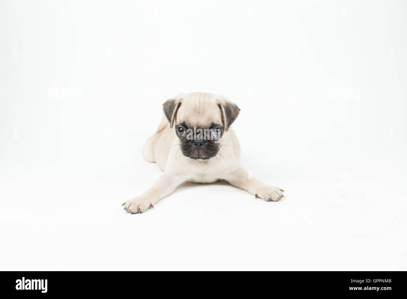 A pug puppy lying down in a white background - Stock Image