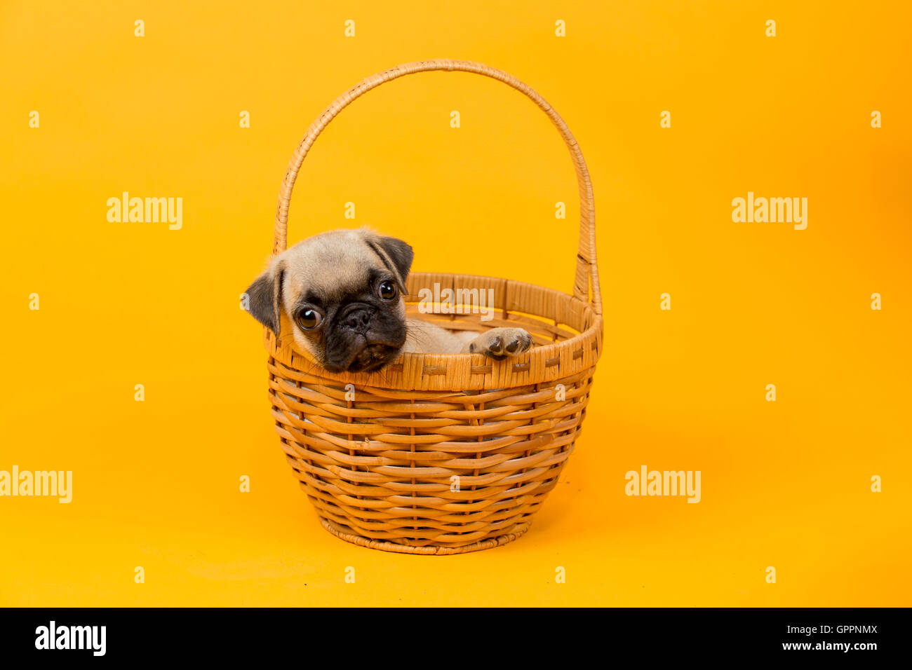 A beautiful pug puppy place in a basket - Stock Image