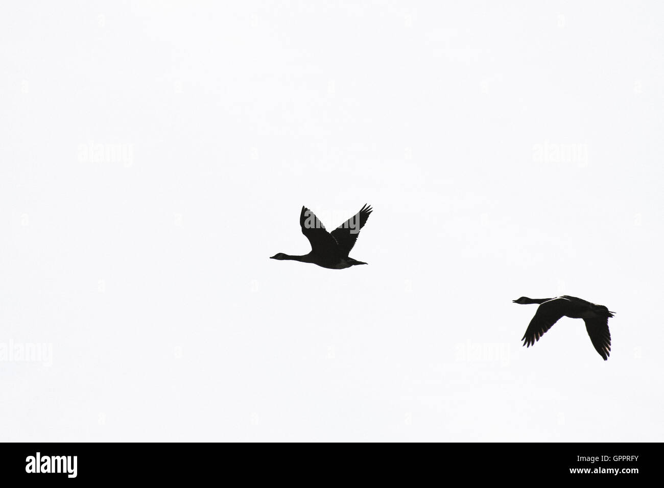 Contrasting black and white image of geese in flight - Stock Image