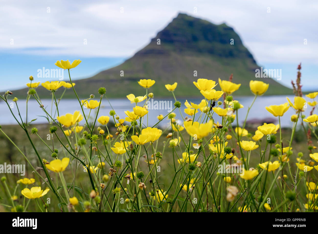Mount Kirkufell with Buttercups in foreground in summer. Grundarfjordur, Snaefellsnes Peninsula, Iceland - Stock Image