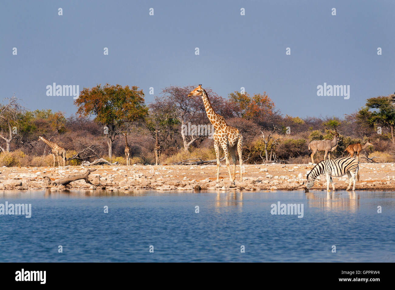 Group of wild animals near a waterhole in the Etosha National Park, in Namibia; Concept for travel in Africa and Stock Photo