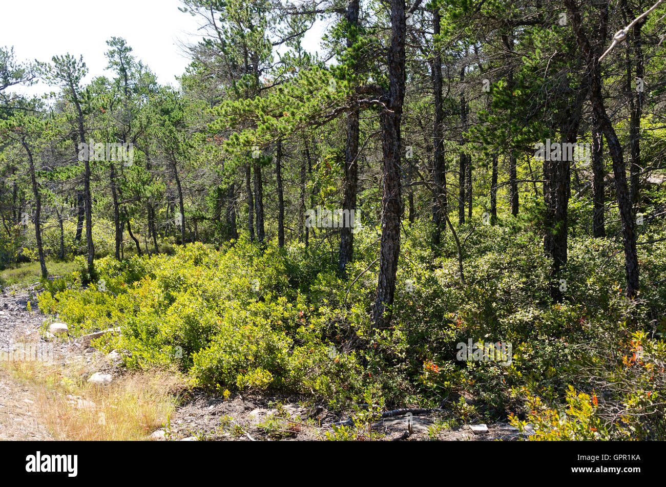 Jack Pine woodland with Huckleberry understory near the top of Birch Harbor Mountain, Schoodic Penninsula, Acadia - Stock Image