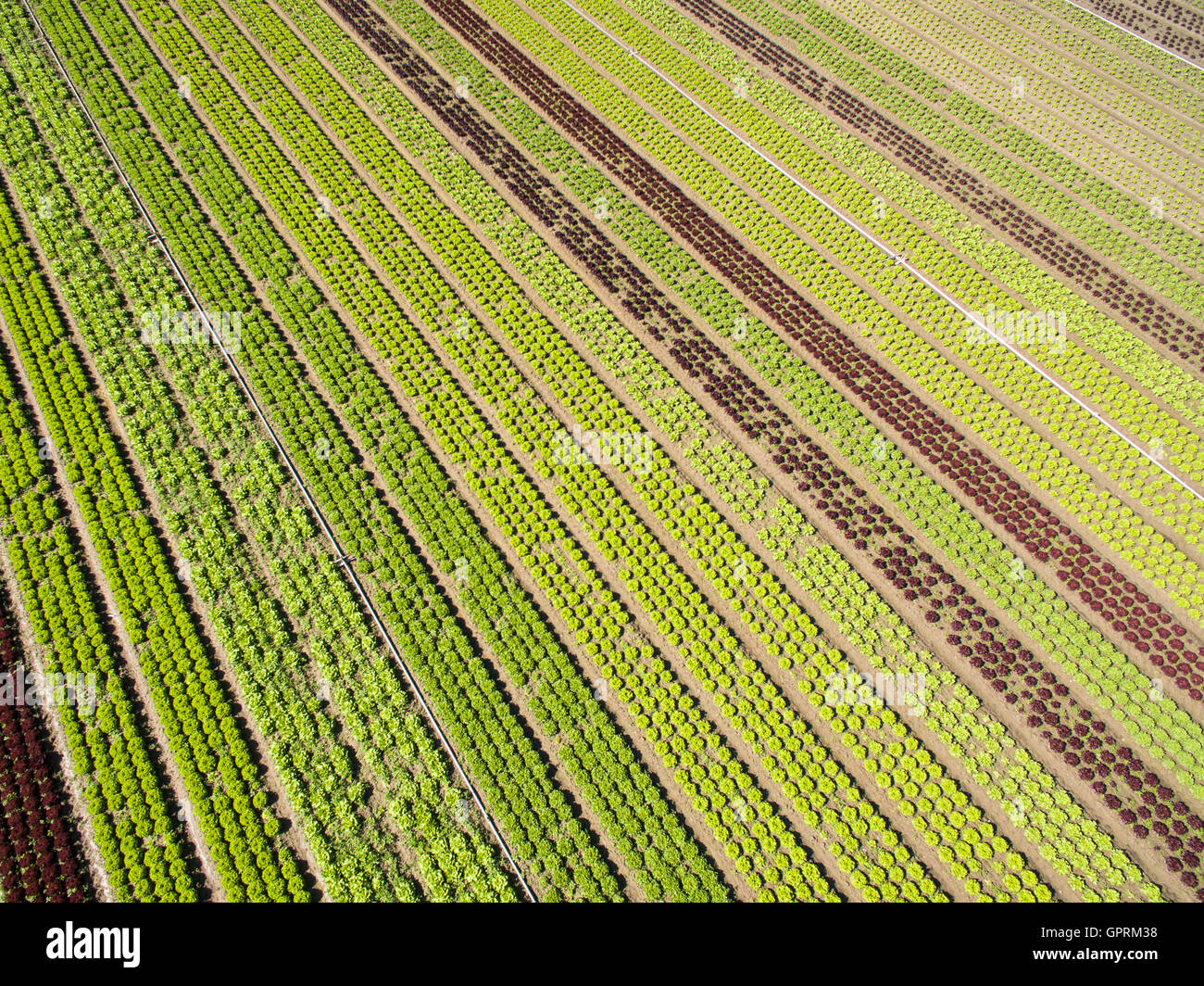 Aerial agricultural view of lettuce production field and greenhouse - Stock Image
