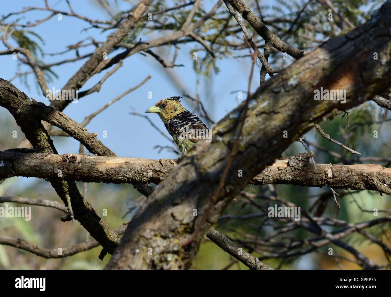 Crested barbet (Trachyphonus vaillantii) female bird. Songbirds singing in duets. Fruit eating bird colorful yellow - Stock Image