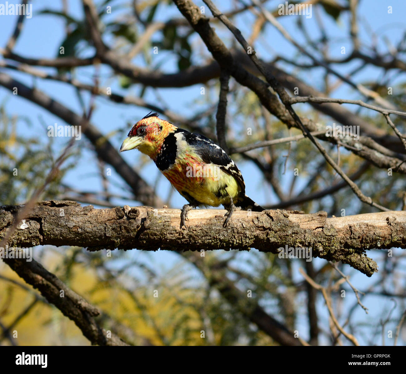 Crested barbet (Trachyphonus vaillantii) male bird. Songbirds singing in duets. Fruit eating bird colorful yellow - Stock Image