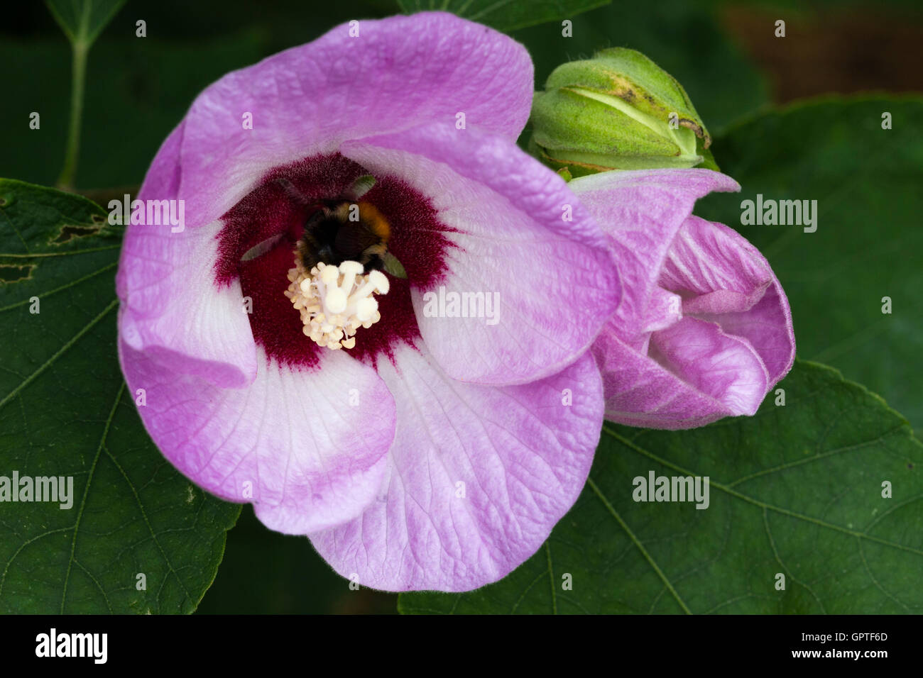 Dark throat and white stamens in the centre of the late flowering shrub, Hibiscus sinosyriacus 'Lilac Queen'. - Stock Image