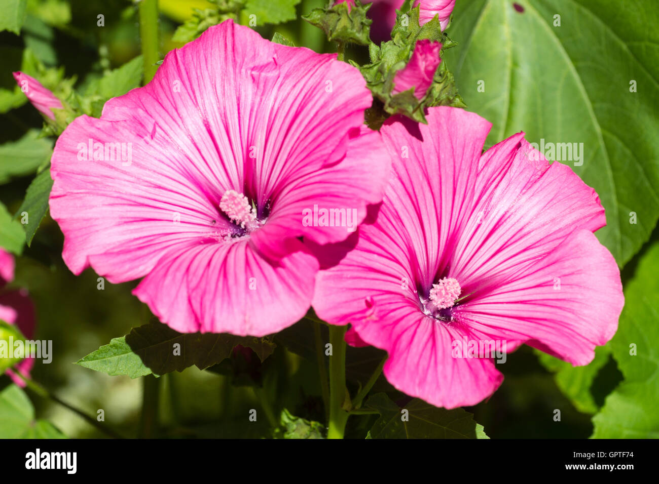 Lavatera flowers stock photos lavatera flowers stock images alamy large pink flowers of the bushy long flowering annual mallow lavatera trimestris silver izmirmasajfo