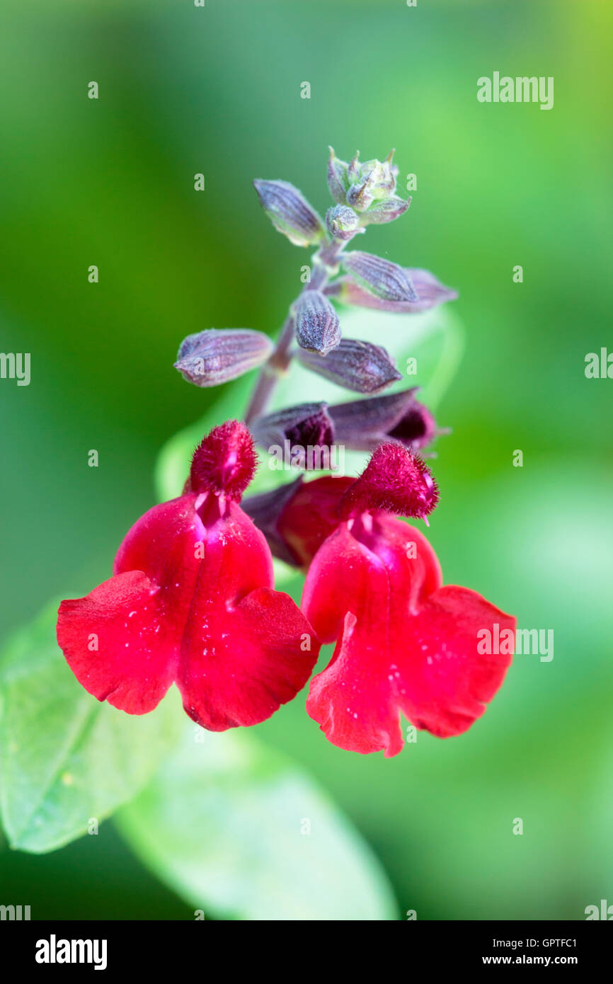 Twin flowers and buds of the shrubby hybrid Mexican sage, Salvia x jamensis 'Silas Dyson' - Stock Image