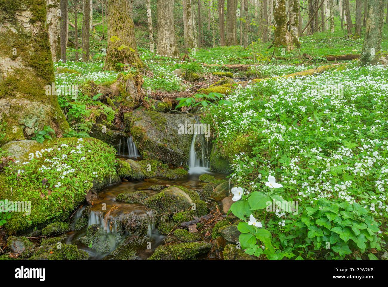 Large White-flowered trilliums (Trillium grandiflorum), stream, Spring, White-Fringed Phacelia (P.frimbiata), Great - Stock Image