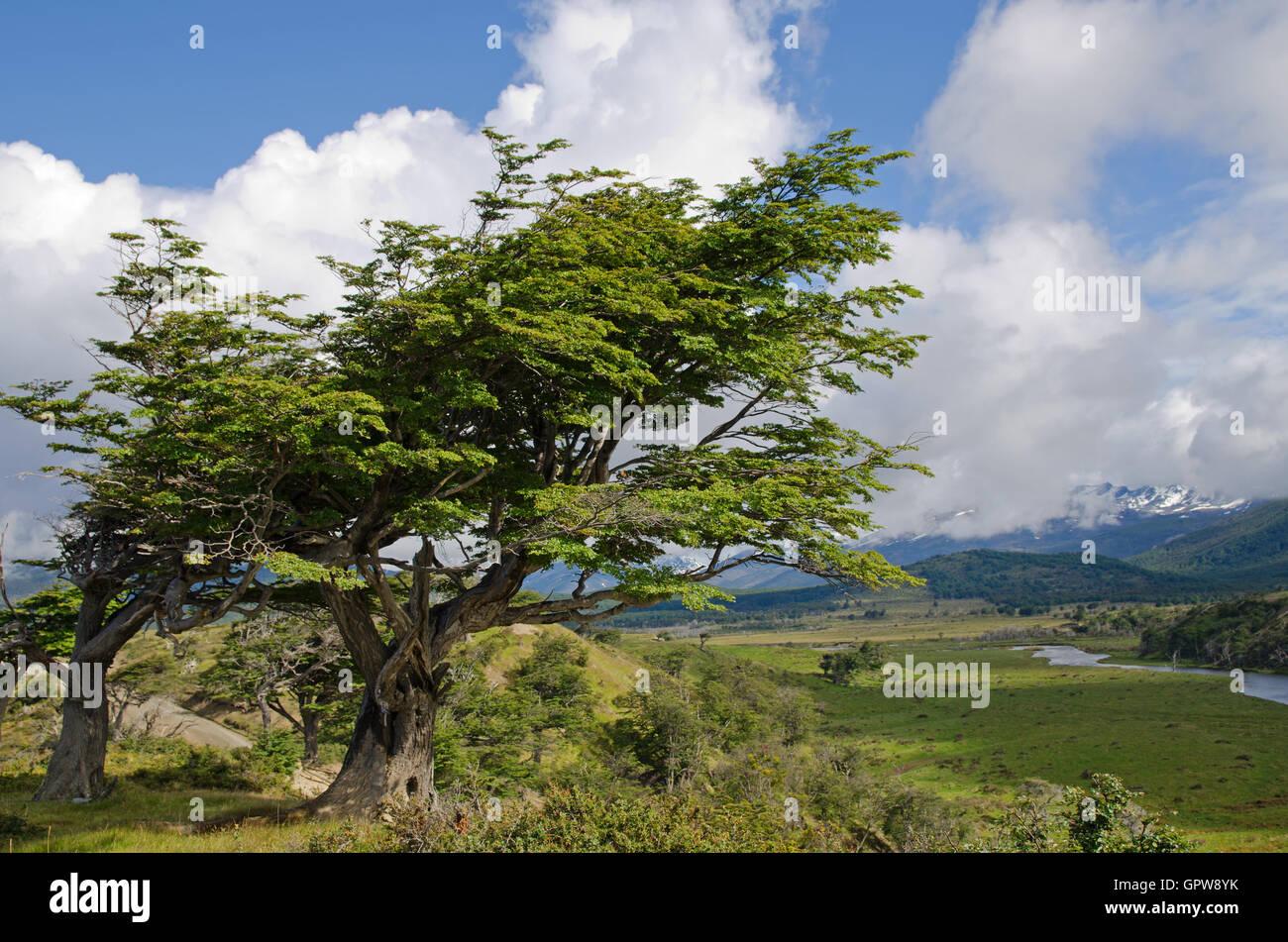 Wind-bent trees in Fireland (Tierra Del Fuego), Patagonia, Argen - Stock Image